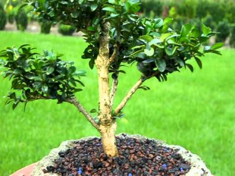 buchsbaum buxus bonsai formgeh lz youtube. Black Bedroom Furniture Sets. Home Design Ideas