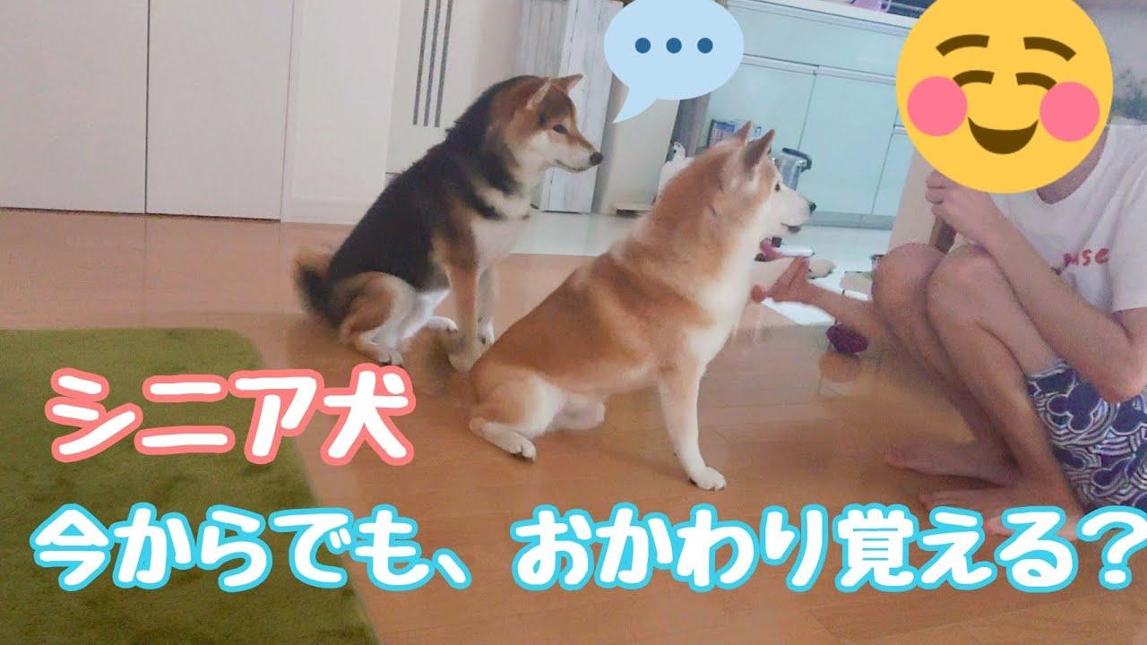 【柴犬】 シニア犬チャレンジ おかわり出来るかな?