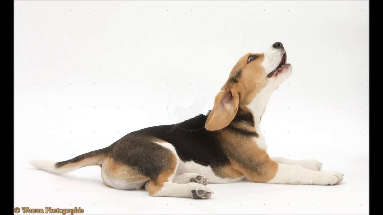 Beagle Barking Sound Effect Youtube