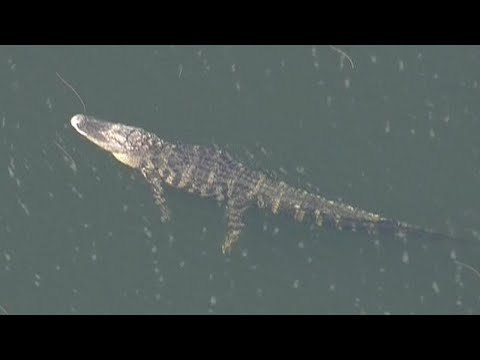 Florida Woman Believed to Have Been Eaten by Giant Alligator