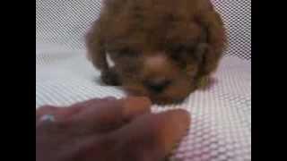 http://poodle.breeders.jp/