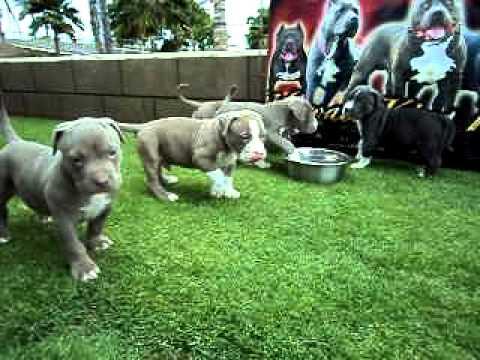 Bully Dog Show Hawaii