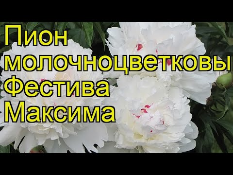 Пион молочноцветковый Фестива Максима. Краткий обзор, описание paeonia lactiflora Festiva Maxima