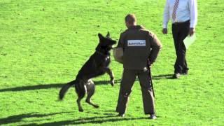 Hank vom Weinbergblick - WUSV WM 2012 Schutzdienst (Protection)