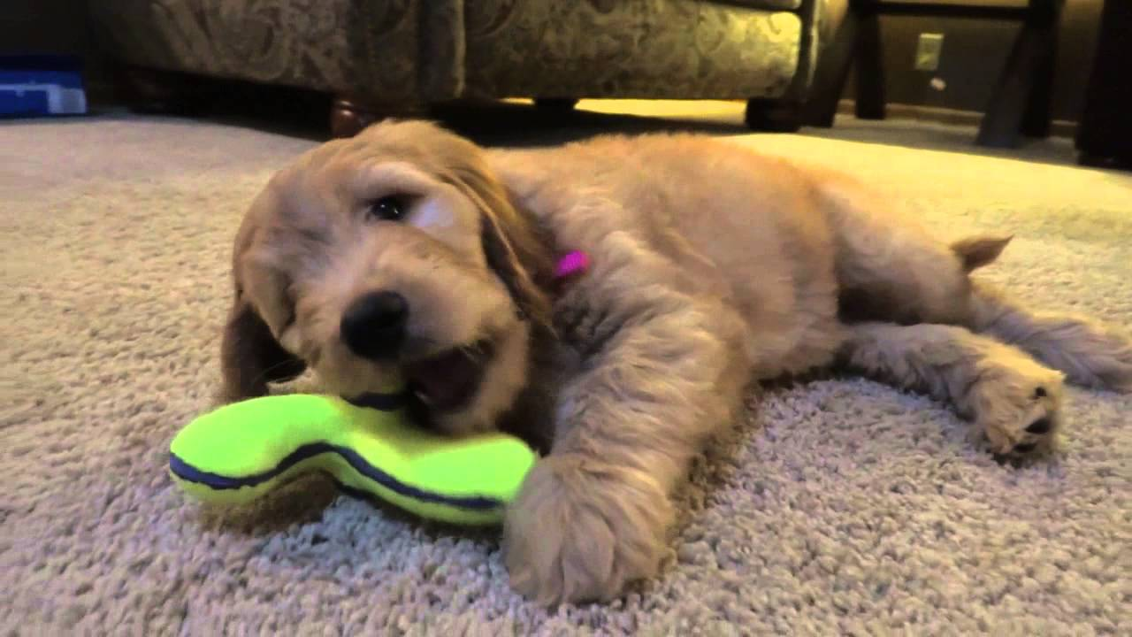 Goldendoodle Puppy Bailee 8 Weeks Old Youtube