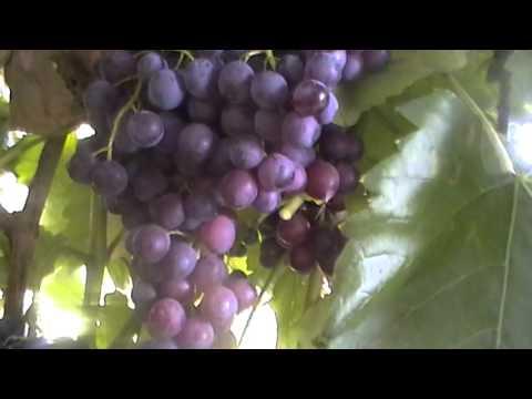 Сорт винограда кишмиш Красное Пламя (Кулинича) - сезон 2015