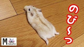ジャンガリアンハムスターのリラックスポーズが伸びすぎて可愛い!可愛い癒しおもしろ動物Djungarian hamster stretches too cute!