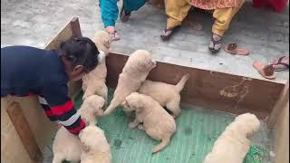 Golden Retriever puppy dog market NK please watching the video contact 7357 655 281 male female
