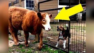 Diese gerettete Kuh denkt sie ist ein Hund – So niedlich was sie jeden Tag macht