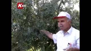 Ağaç Aşılama Ve Değişik Meyveler ....