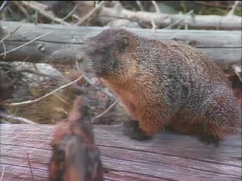 Footprints On The Rockies Aberts Squirrel Marmots And More Youtube