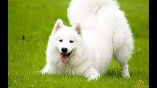 Chó Samoyed trắng lông dài tại công viên trขng tâm Đà Lạt - DAILY VLOG 57