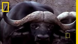 Black Mamba vs. Animal Kingdom | National Geographic