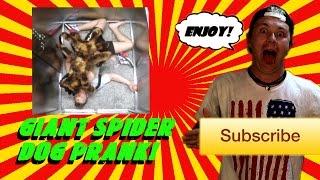 Mutant Giant Spider Dog Prank! (SA Wardega) Response Video