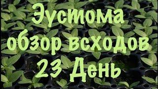 Эустома,лизиантус. Как вырастить эустому из семян. 3 обзор всходов на 23 й день 4 настоящих листа