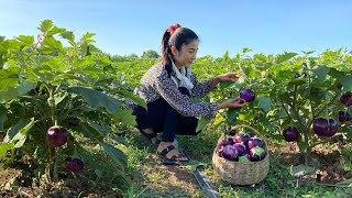 Harvesting round purple eggplants for cooking / Stuffed round eggplants with shrimps