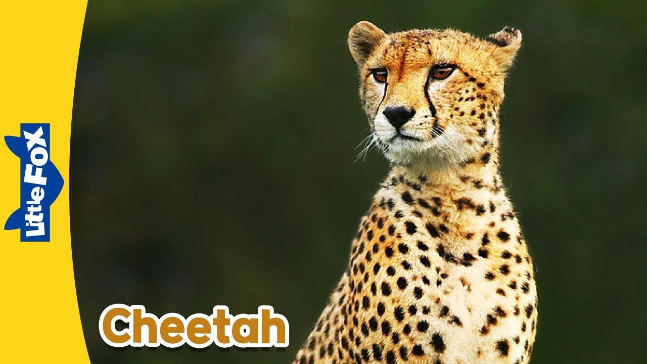 animals fox cheetah meet wild animated stories