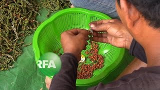 Pepper Farming On the Rise in Cambodia