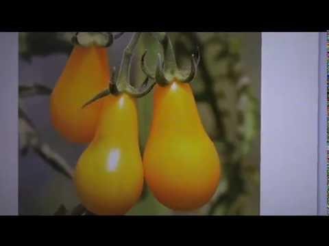⟹ Yellow Pear Cherry - Tomato