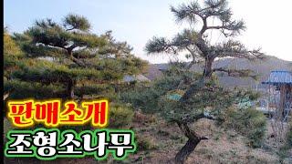 조형소나무일부판매소개2109편
