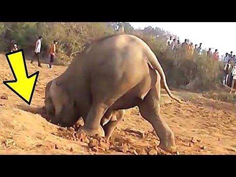 Вопрос: На какое расстояние плавают слоны?
