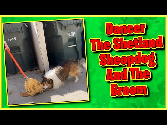 The Dog and The Broom #Shorts || Dancer Shetland sheepdog funny