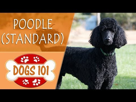 Dogs 101 - POODLE (STANDARD) - Top Dog Facts About the POODLE (STANDARD)