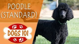 Dogs 101  POODLE (STANDARD)  Top Dog Facts About the POODLE (STANDARD)