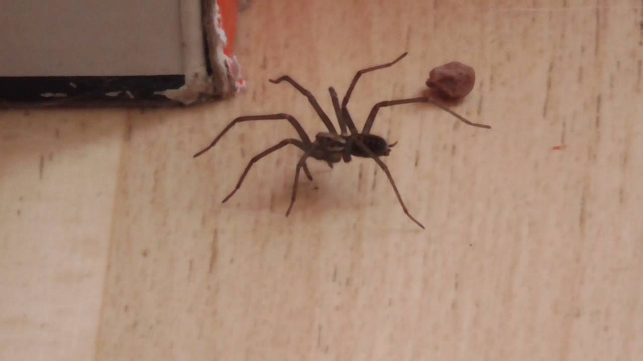 Aggressive Uk House Spider Who Lives In Our Conservatory