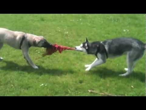 Siberian Husky vs Turkish Kangal (aka Anatolian Shepherd