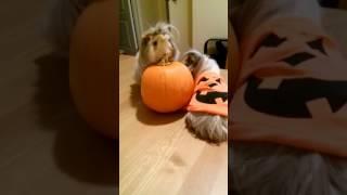 Guinea Pigs Discover Pumpkin