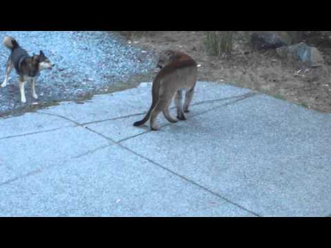 Hungry Cougar vs brave dogs, Highlands, Victoria