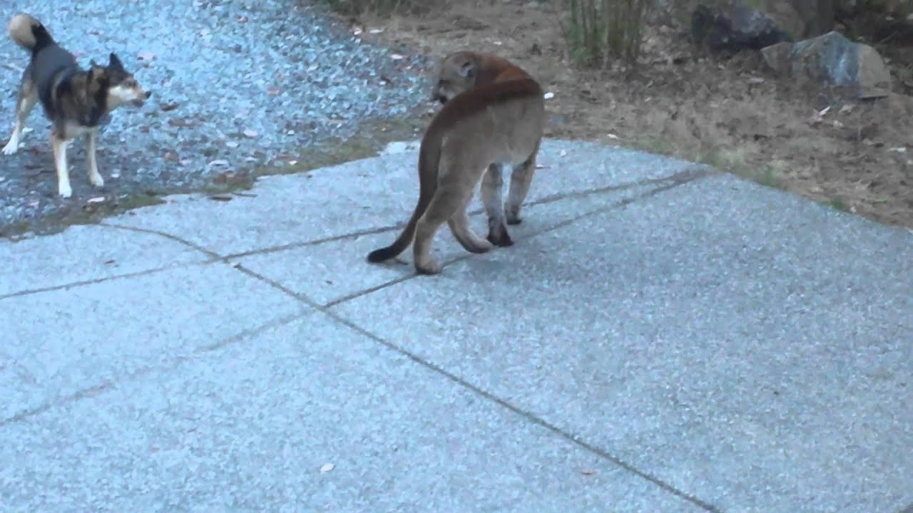 Klixen compilation and wild cougar