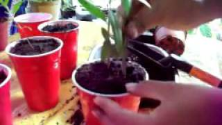 Growing Pomegranate from seeds: Transplanting