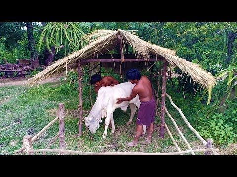 Build Hut For Cow, House Cow