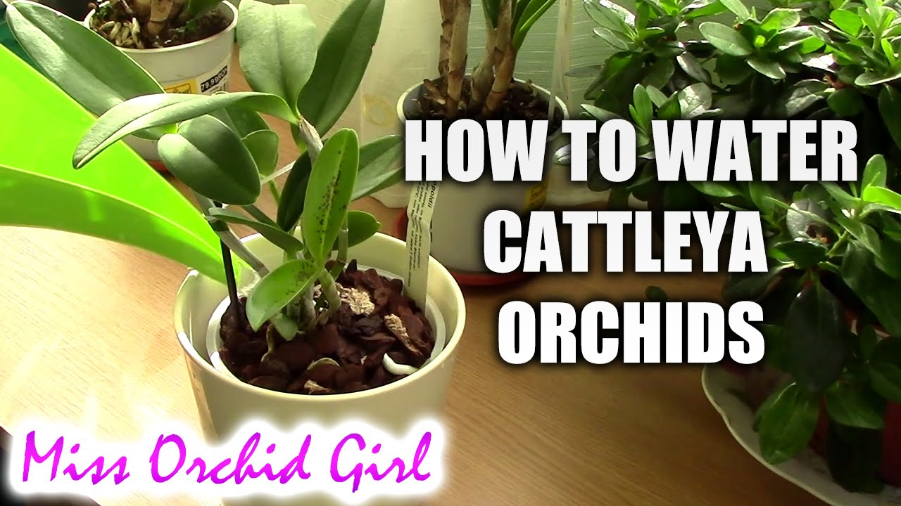 How To Water Cattleya Orchids Tips For A Healthy Orchid Youtube
