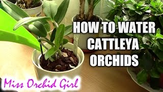 How to water Cattleya orchids - tips for a healthy orchid