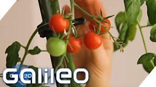 Tomoffel - gibt es die Pflanze wirklich?   Galileo   ProSieben