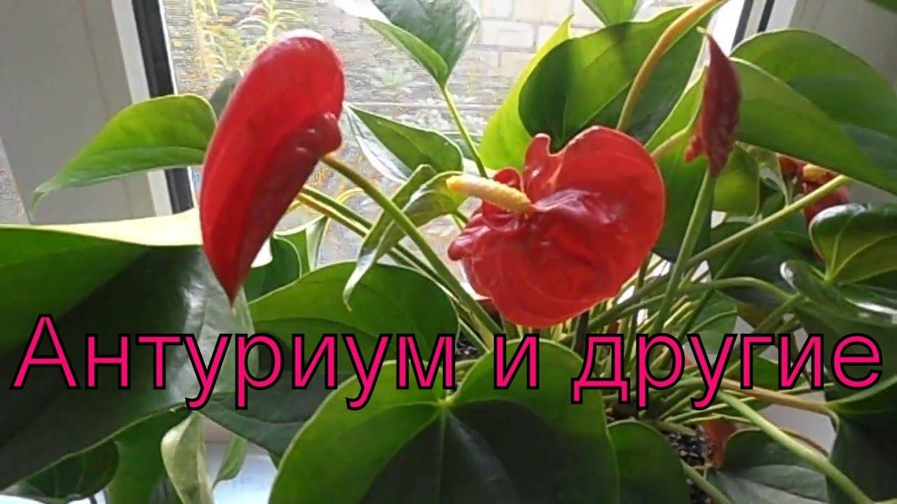 Цветы в доме. Антуриум и другие.