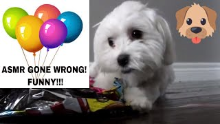ASMR - Puppy Goes Wild Over Balloons - ASMR Gone Wrong