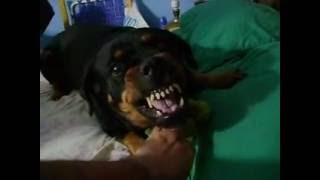 Rottweiler Taking Care Of A Baby Crocodile/ Alligator