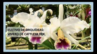 Cultivo De Orquídeas Cattleya Rex