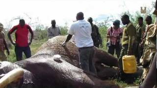 Live Operation on Poached Elephant in Galana Ranch, May 2011