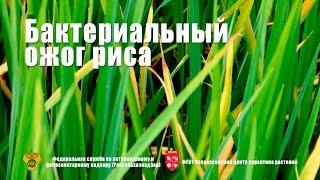 Бактериальный ожог риса Xanthomonas oryzae pv oryzae
