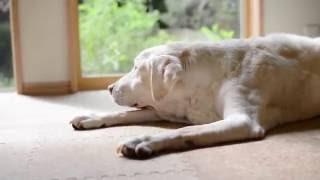 2016年10月20日。 愛犬ラブラドールのイングマル(♀)は、17歳になりま...