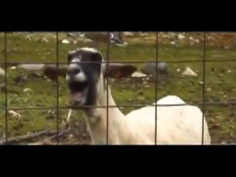 top 6 of goats singing songs taylor swift justin bieber youtube