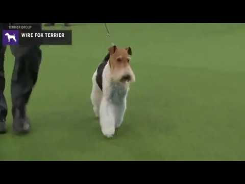 Fox Terriers (Wire) | Breed Judging 2020