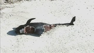 Stranded whales: Dozens of pilot whales beached in Florida national park