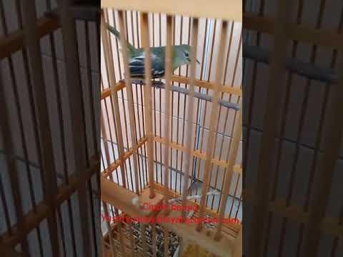 Burung Cipow/sirtu betina gacor