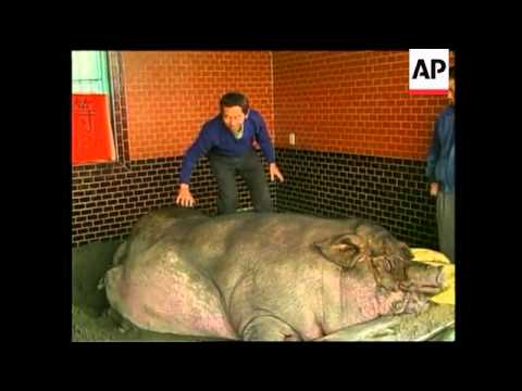 Taiwan: Pig Weighing 961 Kilos Wins Fattest Pig Contest - 1998